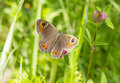 Lasiommata maera the large wall brown butterfly Royalty Free Stock Photo
