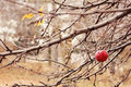 Last apple bare branches with one red Stock Image
