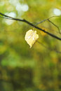Last fallen birch leaf on twig in autumn forest Royalty Free Stock Photography