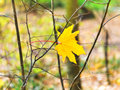 Last fallen maple leaf on twig in autumn forest Royalty Free Stock Photography
