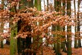 Last golden leaves in autumn beech forest Royalty Free Stock Photo