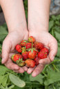 The last harvest strawberries Royalty Free Stock Photo