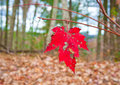 Last leaf of autumn red maple in forest selective focus shallow dof Stock Photography
