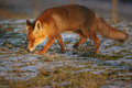 Last light red fox Royalty Free Stock Photo