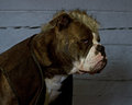 The last of the mohicans bulldog a blue brindle olde english with clothes and a tough mohican haircut Stock Photography