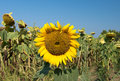 Last sunflower Royalty Free Stock Photo