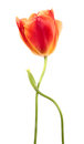Last tulips Royalty Free Stock Photo