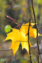 Last yellow fallen maple leaf on twig in autumn forest Royalty Free Stock Images