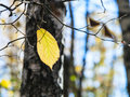 Last yellow hazel leaf on tree in autumn forest sunny day Royalty Free Stock Images
