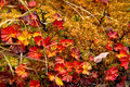 Late autumn in the chukchi tundra variegated plants Royalty Free Stock Photos