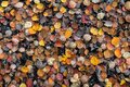 Late autumn yellow-orange-red leaves of aspen Royalty Free Stock Photo