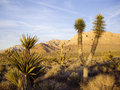 Late light on desert flora mohave glow in Royalty Free Stock Photography