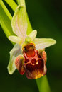 Late Spider Orchid, Ophrys holosericea, flowering European terrestrial wild orchid, nature habitat, detail of bloom, violetclear b Royalty Free Stock Photo