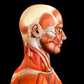 Lateral side facial face muscles Royalty Free Stock Photo