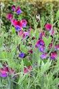 Lathyrus odoratus sweet pea Royalty Free Stock Photo