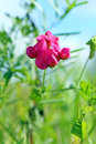 Lathyrus tuberosus. Flower Royalty Free Stock Photo