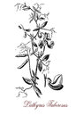 Lathyrus tuberosus or tuberous pea, botanical vintage engraving Royalty Free Stock Photo