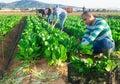 Latino male farmer picking chard on field Royalty Free Stock Photo