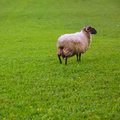 Latxa sheep in Pyrenees of Navarra grazing in meadow Stock Photos