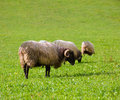 Latxa sheep in Pyrenees of Navarra grazing in meadow Stock Photo