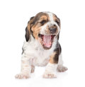 Laughing basset hound puppy. isolated on white background Royalty Free Stock Photo
