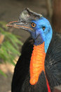 Laughing bird cassowary Stock Photo