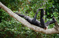 The laughing Bonobo Royalty Free Stock Photo