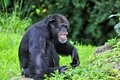 Laughing chimpanzee chimp sitting and relaxing in zoo miami south florida Royalty Free Stock Photography