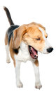 Laughing Dog Royalty Free Stock Photo