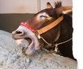 Laughing donkey Royalty Free Stock Photo