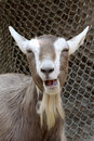 Laughing Goat Royalty Free Stock Photos