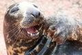Laughing Grey seal Royalty Free Stock Photo