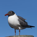 Laughing Gull, Clearwater, Florida Royalty Free Stock Photo