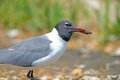 Laughing Gull With Crab Royalty Free Stock Images