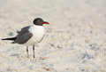 A Laughing Gull Leucophaeus Atricilla is on Indian Rocks Beach, Gulf of Mexico, Florida Royalty Free Stock Photo