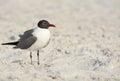 A Laughing Gull Leucophaeus Atricilla is on Indian Rocks Beach, Gulf of Mexico, Florida