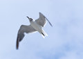 Laughing Gull Overflight Royalty Free Stock Image
