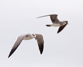 Laughing gull pair two gulls fly by on the gulf coast of mexico Royalty Free Stock Image