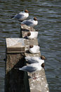 Laughing gulls resting in the sun Royalty Free Stock Image