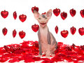 Laughing hairless Sphynx kitten with red hearts Stock Images