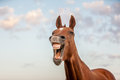 Laughing horse funny outdoor portrait of a quarter in front of colorful sky background Royalty Free Stock Image