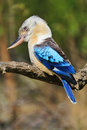 Laughing Kookaburra Blue-winged