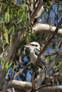 Laughing Kookaburra (Dacelo novaeguineae) Stock Photo