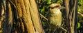 Laughing Kookaburra Dacelo novaeguineae Halcyonidae 2 Royalty Free Stock Photo
