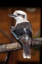Laughing kookaburra Dacelo novaeguineae. Royalty Free Stock Photo