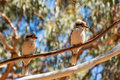 Laughing kookaburra - Dacelo novaeguineae Royalty Free Stock Photo