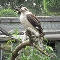 Laughing kookaburra Dacelo novaeguineae Royalty Free Stock Photo