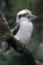 Laughing kookaburra (Dacelo novaeguineae). Royalty Free Stock Photo