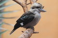 Laughing kookaburra sitting on the branch Stock Photography