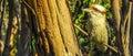 Laughing Kookaburra in a tree Dacelo novaeguineae halcyonidae Royalty Free Stock Photo